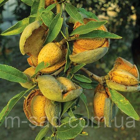 Саженцы привитого Миндаля Форос(урожайный,тонкокорый,до -30 С), фото 2