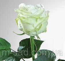 Саженцы роз Анастасия, фото 2