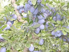 Саженцы сливы Стенлей (среднепоздний сорт,скороплодный,самоплодный), фото 3