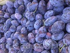 Слива Стенлей (средне поздний сорт,скороплодный,самоплодный), фото 3