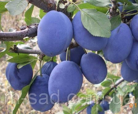 Слива Стенлей (средне поздний сорт,скороплодный,самоплодный), фото 2