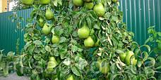 Саженцы груши Ноябрьская, фото 2