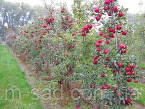 Саженцы яблони Лигольд(скороплодный,подвой ММ106,сладкий), фото 2