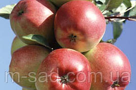 Яблоня  Лигольд(скороплодный,к/сладкий,средне рослый)