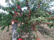 Саженцы черешни Валерий Чкалов(крупно-плодная,раннего срока созревания), фото 3