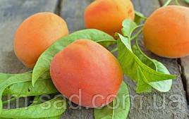 Саженцы абрикоса Краснощекий(летний сорт,средний срок созревания)
