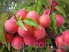 Саженцы абрикоса Краснощекий(летний сорт,средний срок созревания), фото 2