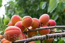 Саженцы абрикоса Краснощекий(летний сорт,средний срок созревания), фото 3