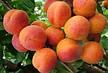 Саженцы абрикоса Краснощекий(летний сорт,средний срок созревания), фото 5