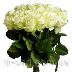 Саженцы чайно-гибридных роз Аваланж, фото 2