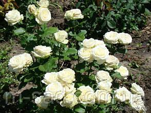 Саженцы чайно-гибридных роз Аваланж, фото 3