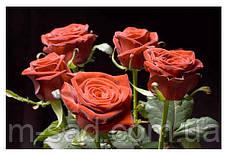 Роза Гран При, фото 2
