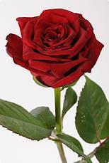 Роза Гран При, фото 3