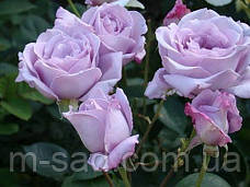 Саженцы чайно-гибридных роз Голубой Нил, фото 2