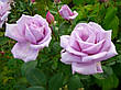 Саженцы чайно-гибридных роз Голубой Нил, фото 3