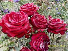 Саженцы чайно-гибридных роз Люксор, фото 3