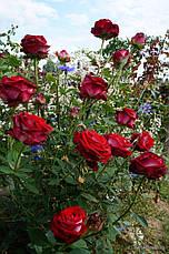 Саженцы чайно-гибридных роз Люксор, фото 2