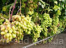 Саженцы винограда Преображение, фото 3