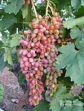 Саженцы винограда Киш-миш Магарача, фото 2