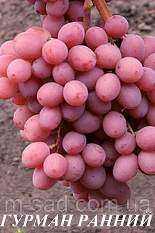 Саженцы винограда Гурман, фото 2
