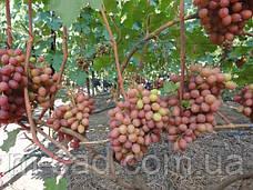 Саженцы винограда Гурман, фото 3