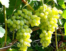 Саженцы винограда Лора, фото 2