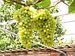 Саженцы винограда Лора, фото 3