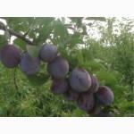 Саженцы сливы Кишиневская (ранний,самоплодный,урожайный), фото 2