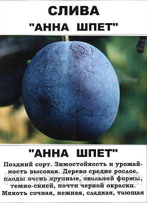 Саженцы сливы Анна Шпет(поздний сорт,неприхотлив), фото 2