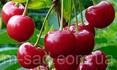 Саженцы вишни  Мелитопольский(средний срок созревания), фото 2