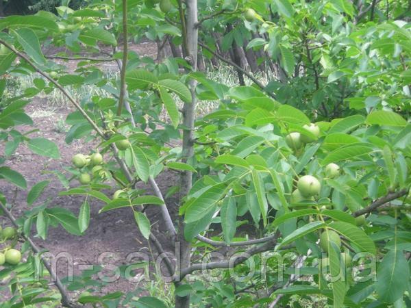 Саженцы грецкого ореха Прикарпатский (однолетний), фото 2