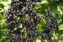 Саженцы черной смородины Рубен