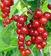 Саженцы красной смородины Дарница