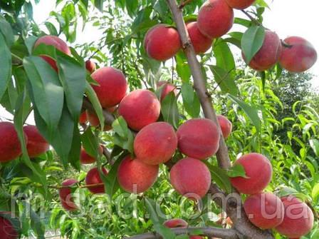 Саженцы Персика Инка(самоплодный,крупноплодный,поздний), фото 2