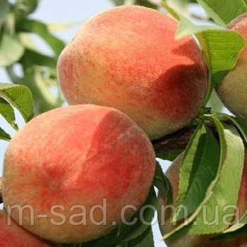 Саженцы персика Золотая Москва, фото 2