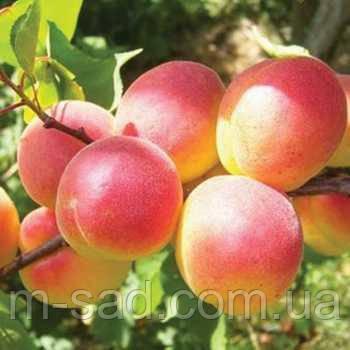 Саженцы абрикоса Донецкий краснощекий(летний сорт,средний срок созревания)