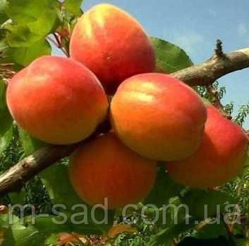Саженцы абрикоса Киото(летний сорт,средний срок созревания)