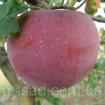 Саженцы яблони Аскольда , фото 2