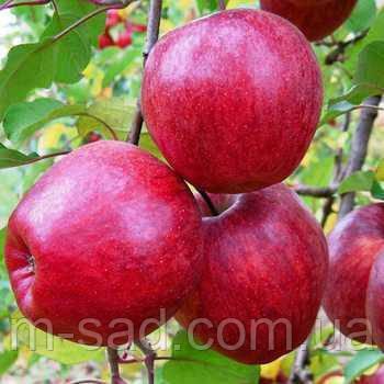 Яблоня Камео (зимний,сладкий с легкой кислинкой)2х летка, фото 2