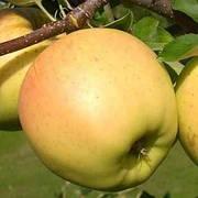 Яблуня Сіріус ( імунний сорт скороплідний,солодкий)2 льотка
