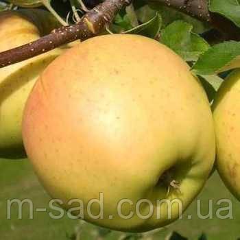 Яблоня Сириус ( имунный сорт,скороплодный,сладкий)2х летка, фото 2