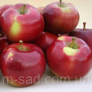 Саженцы яблони Энтерпрайз , фото 2