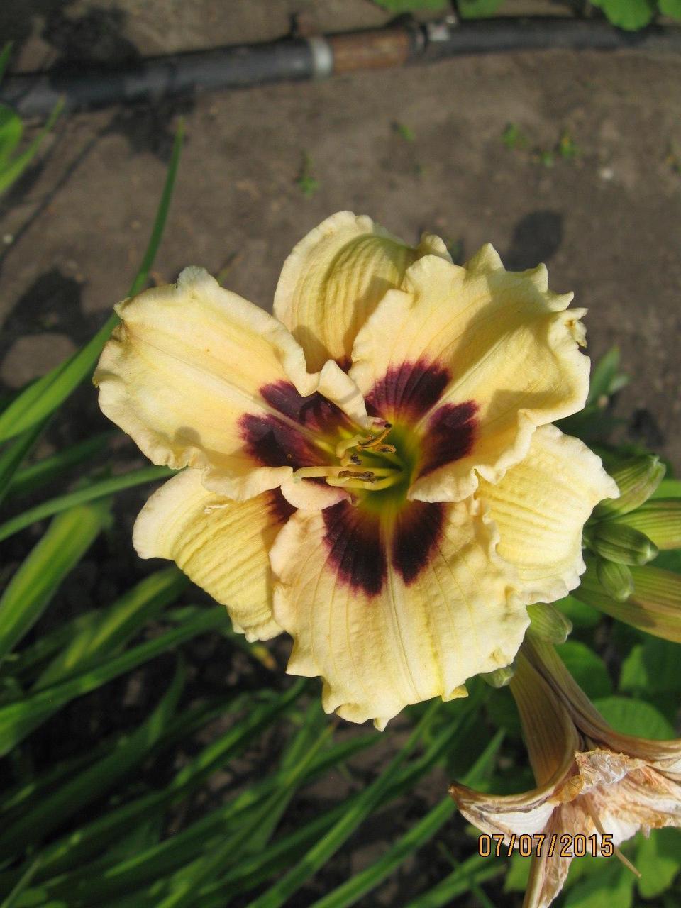 Лилейник мелкоцветковый кремовый