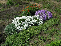 Иберис вечнозеленый, фото 1