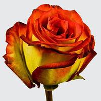 Саженцы роз Тропикана, чайно-гибридная роза