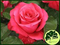 Роза Высоцкий