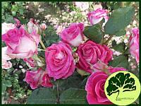 Роза Утро Парижа