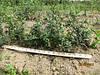 Продажа. Живая изгородь с бирючины. Цены в Киеве. Недорого. Зеленый забор