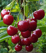 Колоновидные саженцы вишни и черешни