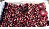 Лук - севок озимый Ред Спирит Голландия 1 кг, фото 3